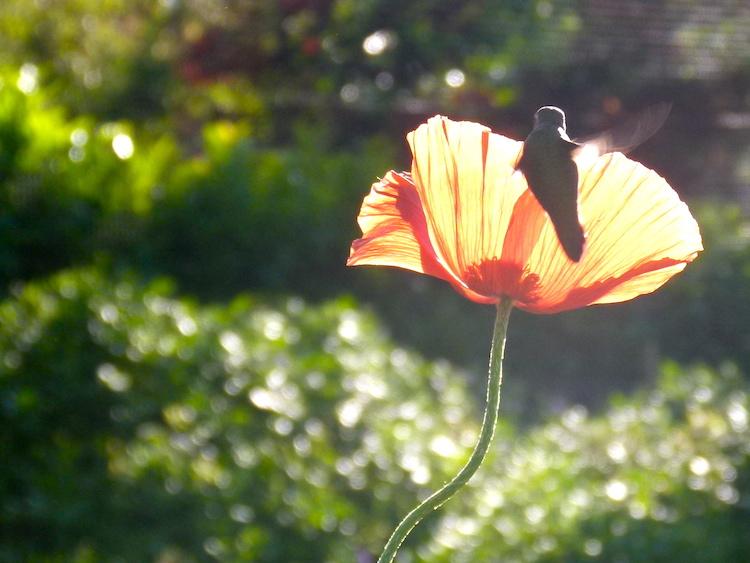 hummingbird-and-poppy