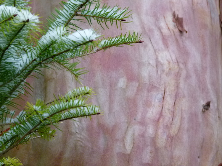 fir and arbutus 750