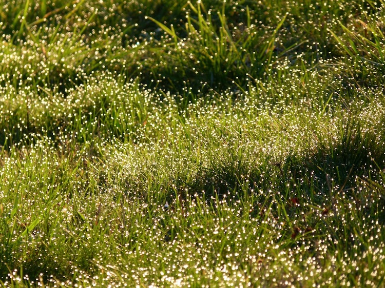dew on grass 750