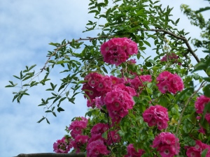 Roses 750