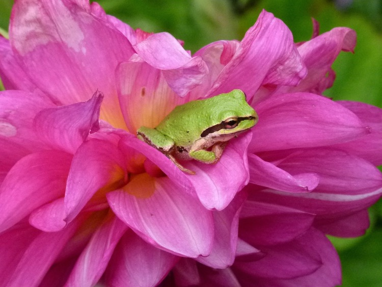 This image has an empty alt attribute; its file name is frog-on-flower-750-1.jpg