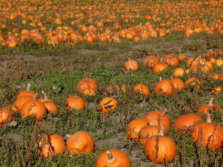 pumpkin patch 750