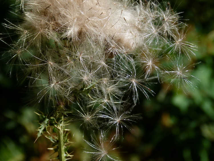 This image has an empty alt attribute; its file name is thistle-seeds-750.jpg