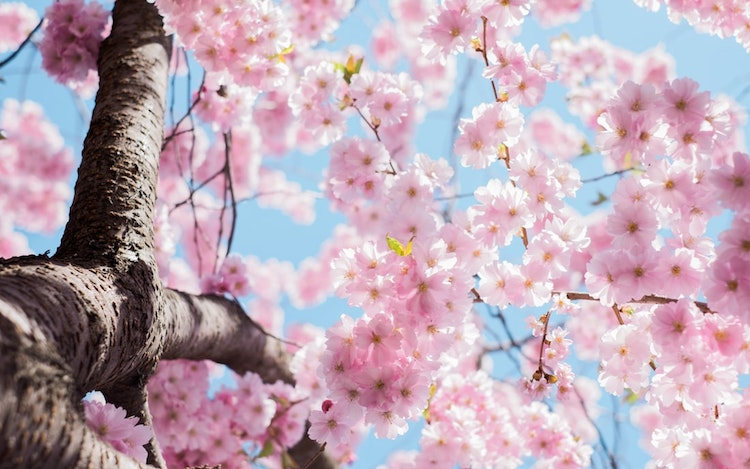 This image has an empty alt attribute; its file name is cherry-blossom-1.jpeg
